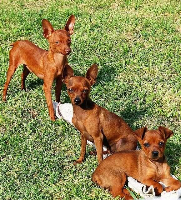 pinscher-mini -Perros Braquicéfalos