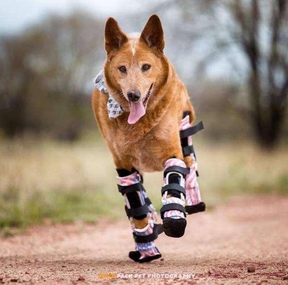 Ortopedia para perros: patas biónicas